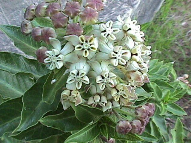 Gomphocarpus cancellatus nombre de algodón salvaje semillas