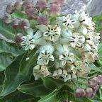 Gomphocarpus cancellatus sinonimo: Asclepias cancellata semi