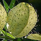 Gomphocarpus physocarpus sinonimo: Asclepias physocarpa semi