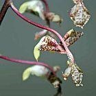 Gongora ssp Orchideen Samen