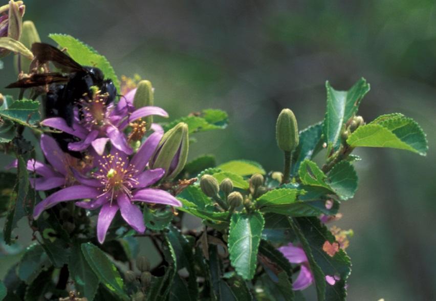 Grewia lasiocarpa lluvia del bosque semillas
