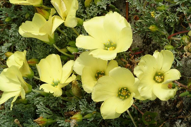 Grielum grandiflorum syn: Grielum tenuifolium graines