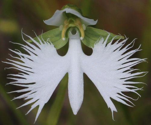 Habenaria radiata Weiße Vogelblume - Erdorchidee Samen