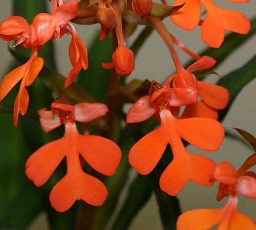 Habenaria rhodocheila orquídea semillas