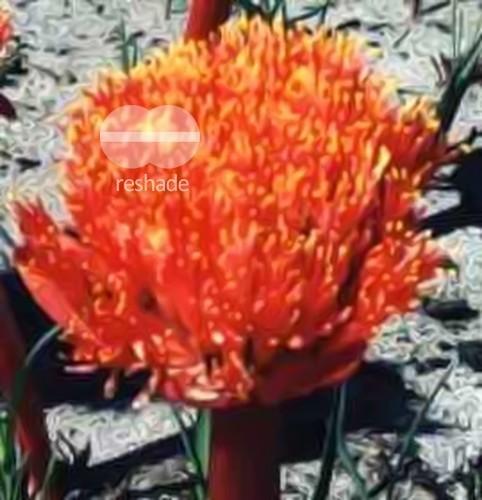 Haemanthus amarylloides ssp polyanthus Amaryllisgewächse Samen