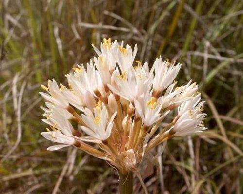 Haemanthus montanus  semillas