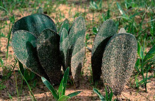 Haemanthus nortieri Amaryllisgewächse Samen