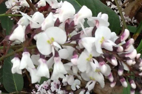 Hardenbergia violacea Alba Australische Wisterie - Weiße Korallenbohne Samen