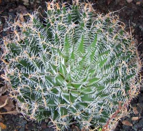 Haworthia arachnoidea Sukkulente Samen