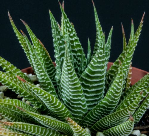 Haworthia limifolia Sukkulente Samen