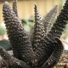 Haworthia scabra Sukkulente Samen