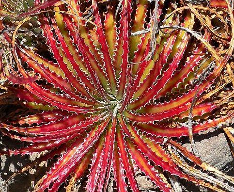 Hechtia scariosa syn: Hechtia texensis Samen