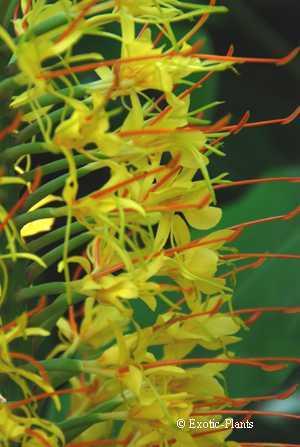 Hedychium gardnerianum Zieringwer - Schmetterlingsingwer - Kahili-Ingwer Samen