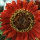 Helianthus annuus Red Sun  semillas