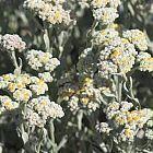 Helichrysum crispum Helichrysum semillas