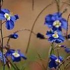Heliophila coronopifolia vistoso sol de lino semillas