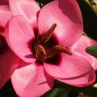 Hesperantha humilis  semillas