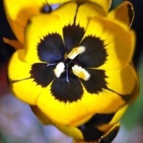 Hesperantha vaginata Hesperantha Samen