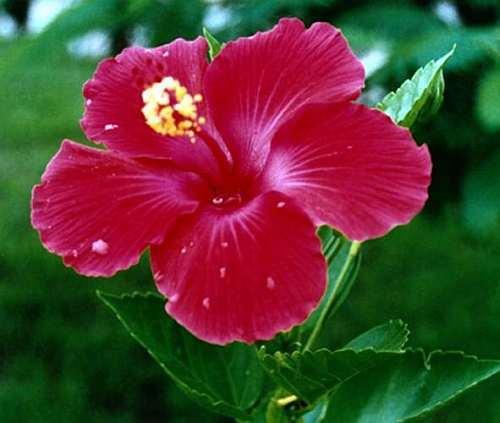 Hibiscus cannabinus Hibiskus – Kenaf Samen