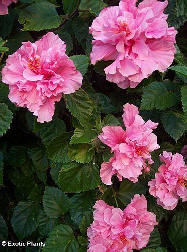 Hibiscus mutabilis Rose Confédérée graines