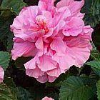 Hibiscus mutabilis Гибискус изменчивый cемян
