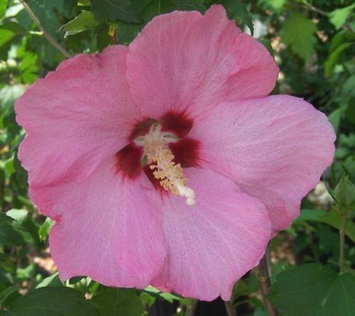 Hibiscus syriacus  semillas
