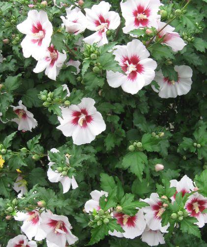 Hibiscus syriacus China Chiffon  semillas