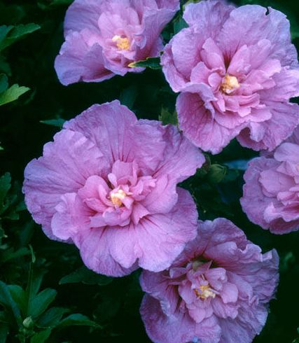 Hibiscus syriacus Lavender Chiffon  semillas