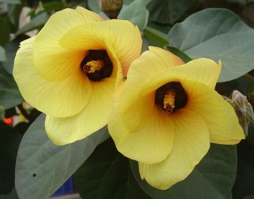 Hibiscus tiliaceus  semillas