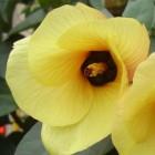 Hibiscus tiliaceus  cемян