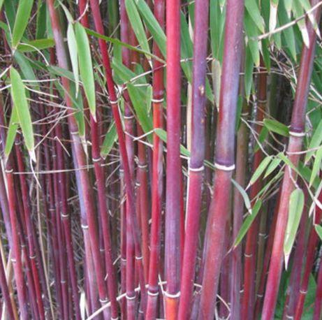 Himalayacalamus falconeri bambú bastón de cramelo semillas