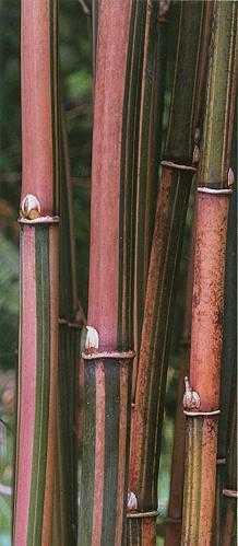 Himalayacalamus falconeri Zuckerstangenbambus Samen