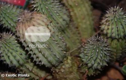 Hoodia gordonii Ascleps - Stapelias Samen