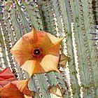 Hoodia parviflora planta suculenta semillas