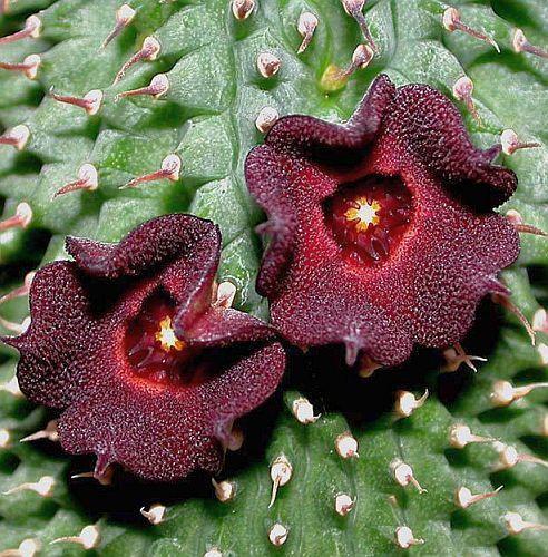Hoodia pilifera Ascleps - Stapelias Samen