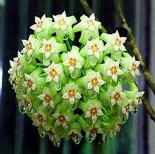 Hoya carnosa Army Green Porzellanblume - Wachsblume Samen