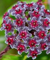 Hoya carnosa Multi Coloured Porzellanblume - Wachsblume Samen