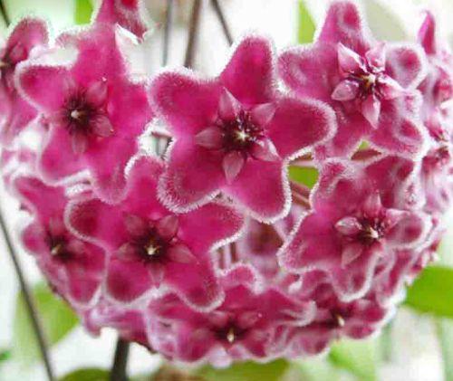 Hoya carnosa Pink  semillas