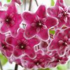 Hoya carnosa Pink Porzellanblume - Wachsblume Samen
