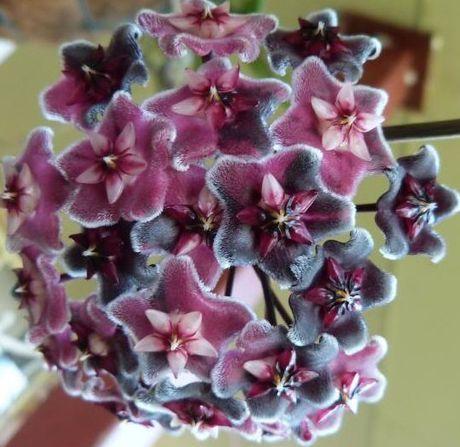 Hoya carnosa Purple Porzellanblume - Wachsblume Samen
