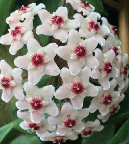 Hoya carnosa White Porzellanblume - Wachsblume Samen