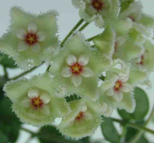 Hoya carnosa white-green  semillas