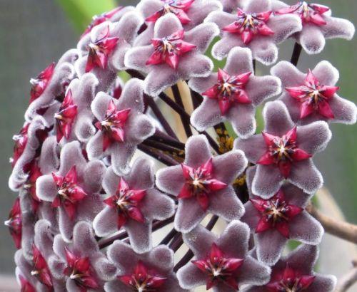 Hoya fusca Porzellanblume - Wachsblume Samen