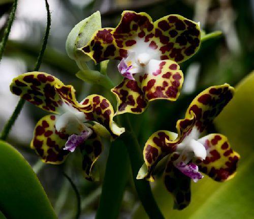 Hygrochilus parishii orquídea semillas