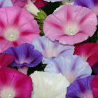 Ipomoea Lazy Luxe Mixed  semillas