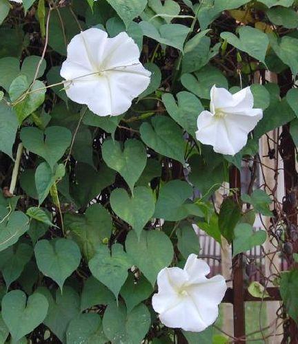 Ipomoea alba Mondblume - weiße Trichterwinde Samen