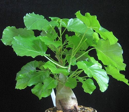 Ipomoea albivenia Caudex semillas