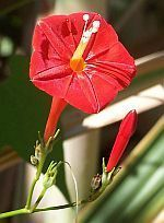Ipomoea hederifolia Scarlet Creeper, Fiore Cardinale, Red Ipomoea semi