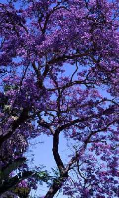Jacaranda mimosaefolia árbol de jacarandá azul semillas