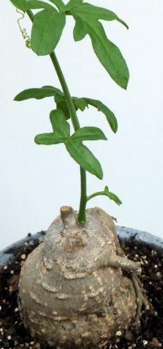 Kedrostis gijef Caudexpflanze Samen